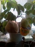 Наш кот Розик в лимонах (почти в шоколаде)