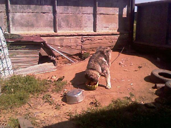 Собака ест арбузы, остатки носит на голове, как немец каску