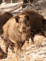Кабан в лесу страшнее медведя